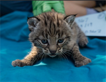 Bobcat Litter Born to Woolsey Fire Survivor