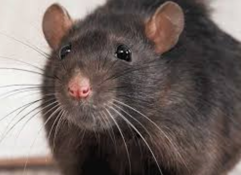 52,00 Rats Bought By City