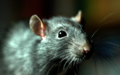The City Has Gone to the…Rats?