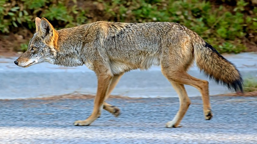 Coyotes Being Killed by Bow and Arrow