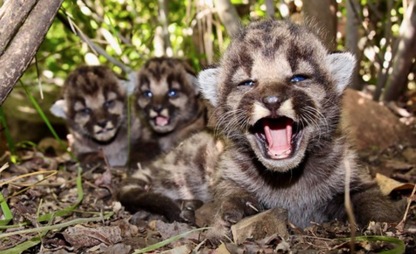 Mountain Lion Gives Birth to Three Kittens