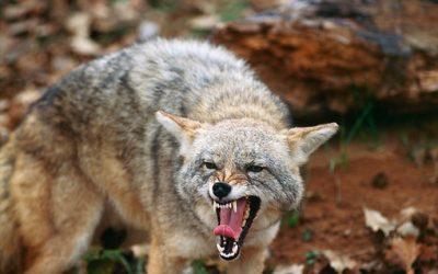 Urban Coyote Attacks Valley Homeowner