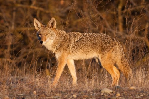 Urban Coyote Attacks Valley Homeowner